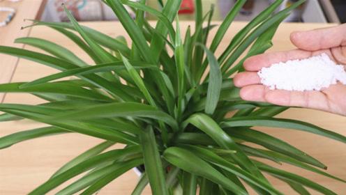 养花也要喂点糖,蹭蹭疯长猛开花,生根快又多,一年省几百元