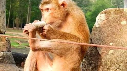 一只老鼠被猴子抓住,下场比被猫抓住还惨,简直就是魔鬼
