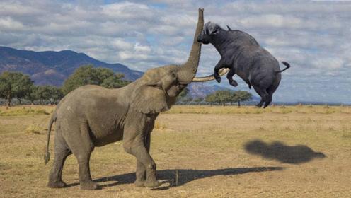 大象作死,踢了野牛一脚,野牛暴怒对着大象屁股一顶,场面惨烈