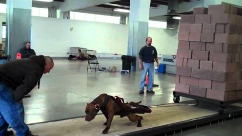 全球最凶猛的狗狗,把2000斤的重物拉着跑,被誉为犬中之王!