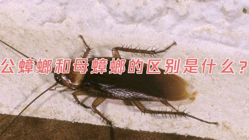 公蟑螂和母蟑螂的区别是什么?