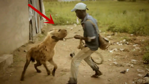 鬣狗为什么会害怕非洲人?还被饲养成了宠物,看的满满的心酸