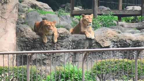 日本动物园举行防止狮子逃脱演习,真狮子在一旁围观看傻了