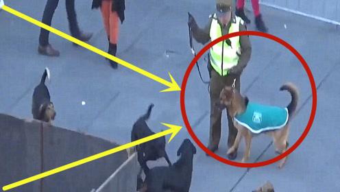 警犬自制力有多强?被一群流浪狗挑衅,它的反应太意外!