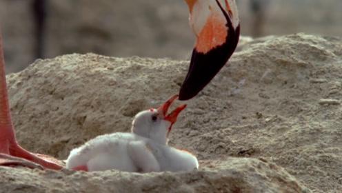像名字一样热烈的爱,火烈鸟用自己的血液喂养雏鸟