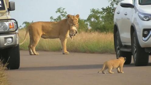 狮子妈妈叼着娃往前走,突然发现不对劲,接下来请憋住别笑