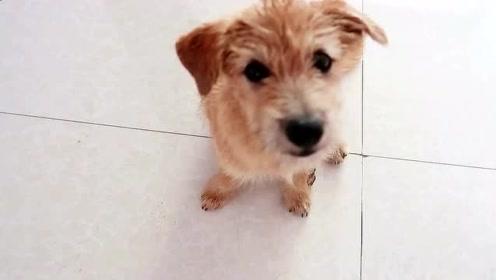 被收养的流浪狗适应了高楼大厦的生活,眼神中对人满满的依赖!