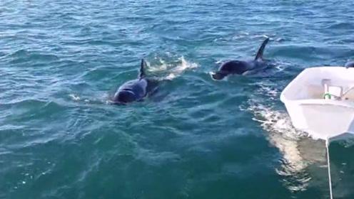 老外出海遇到难题,一群虎鲸赶紧帮忙:瞅啥呢,没见过推船的啊?