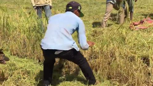 村民们正在收割稻谷,突然一个大家伙窜出,还好男子眼尖!