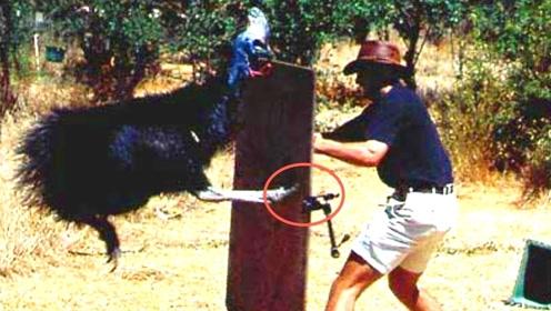 """世界最危险的""""鸡"""",爪子如匕首,一脚竟能将人踢死!"""