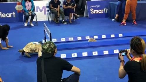 现实版的龟兔赛跑,乌龟凭实力碾压兔子,兔子当年输的真不冤