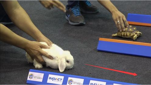 """""""龟兔赛跑""""中,乌龟究竟能不能跑赢兔子,看完难以置信!"""
