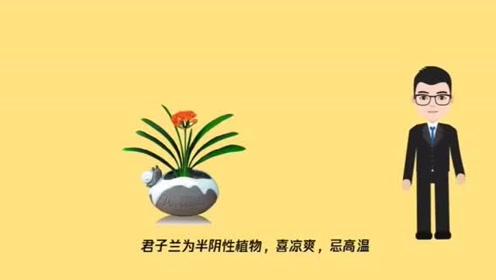 君子兰叶子发黄是什么原因