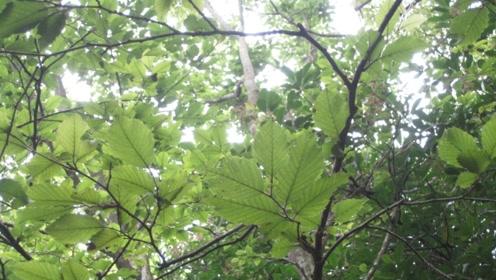 """全世界仅此一棵,是地球上最""""孤独""""的树,而且就在我们中国!"""