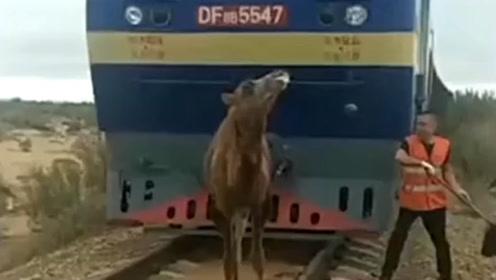 调皮骆驼跑上了铁路,货车被迫逼停,这骆驼成精了?