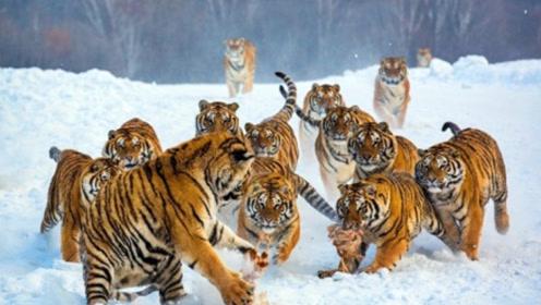 老虎会成为群居动物?科学告诉我们:那将是非常恐怖的事情!
