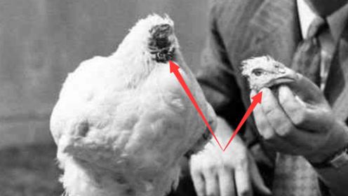 一只被砍掉头的公鸡,居然还活了18个月,网友:公鸡中的战斗机