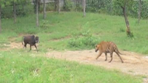 活体投食老虎,小牛不甘心被吃,直接正面和老虎硬碰硬