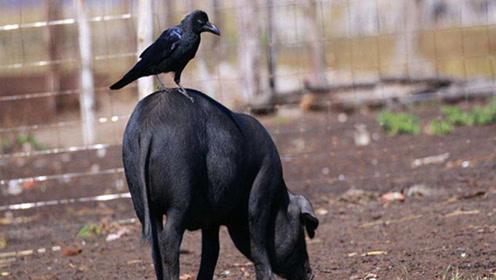 乌鸦也会说话?一乌鸦不仅会说人话还认识钱,究竟是真是假?