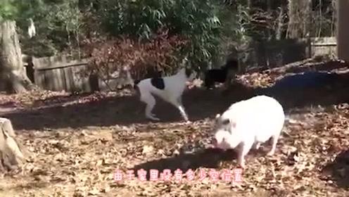 一头猪和5只狗生活在一起,被狗狗成功带偏,画面简直太和谐