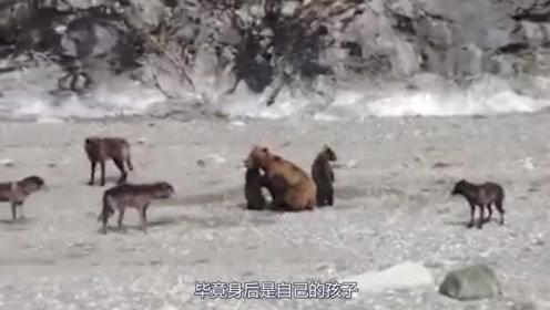 狼群围攻棕熊母子,棕熊妈妈丝毫不怂就是干,镜头记录全过程