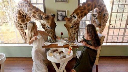 奇葩的餐厅:鱼在脚底游,还能跟长颈鹿一起吃饭