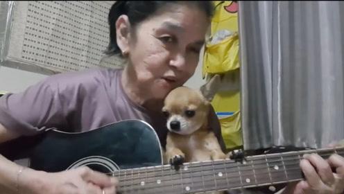 吉娃娃听老奶奶弹唱Heyjude,成为她最忠实的听众,超可爱