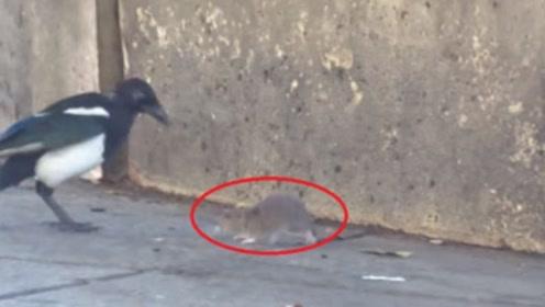 人人喊打的老鼠,被狗狗扔给喜鹊在地上摩擦,老鼠:我要自闭了