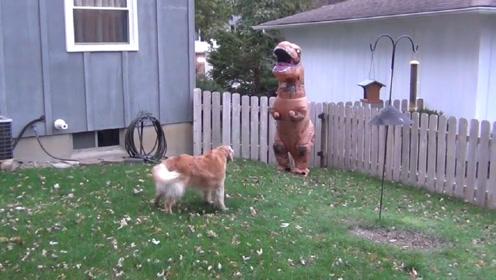 主人假扮恐龙吓金毛,结果发生的事情太搞笑