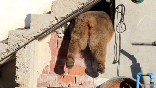 棕熊闯入人类世界偷盗食物,被发现后竟这样做,结局让人哭笑不得