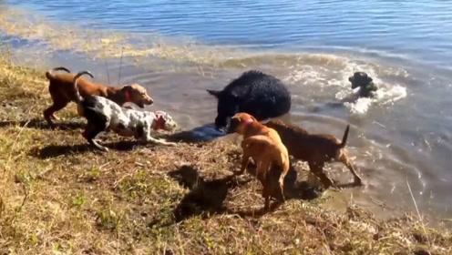 几条猎犬围攻一头野猪,竟差点被野猪反杀,场面十分混乱