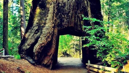 千年老树被挖了个洞,只因为阻拦道路,百年后所有人全后悔了!
