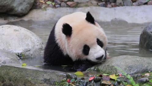 """熊猫泡澡正爽着,却被兄弟猛然偷袭,按头一顿""""胖揍"""",憋住别笑"""
