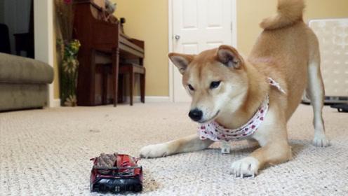 狗狗第一次见到汽车玩具,被唬得一愣一愣的,看完让人捧腹!