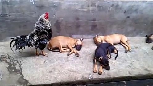 职业病真可怕!一群狗狗在睡觉,公鸡看到后,不停的打鸣