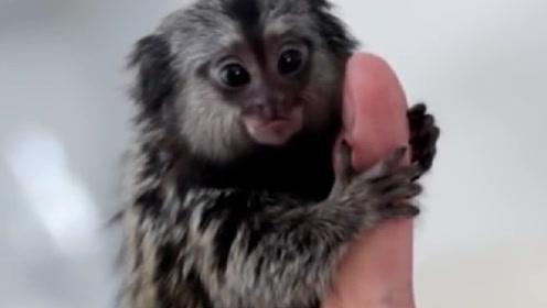 世界上最小的猴子,仅有人类拇指的大小,简直能把你萌哭!