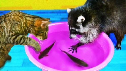 猫咪和浣熊见到鱼的反应有什么不同?网友:这俩的身份是调换了吗