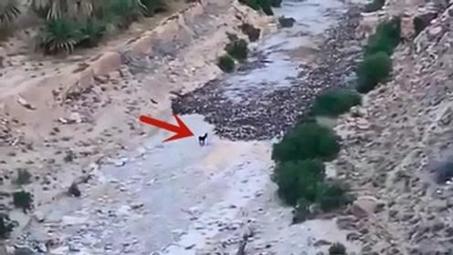 一头驴遇到危险的泥石流,竟淡定站在原地观望,镜头拍下这一幕