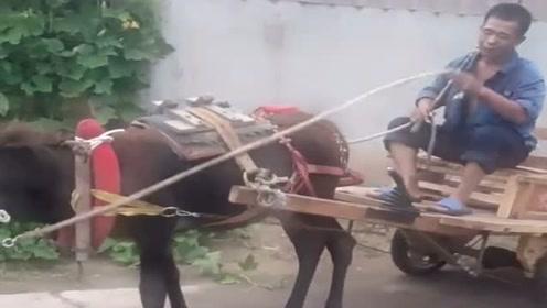 农村牛人开牛车,这架势十足,太有回头率了!
