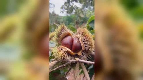 吃板栗的季节来咯 有没有看着就想吃呢