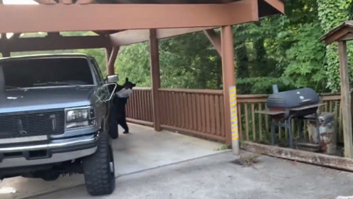 黑熊跳上车偷腌肉,被发现后不逃跑,还把后备箱当成大本营