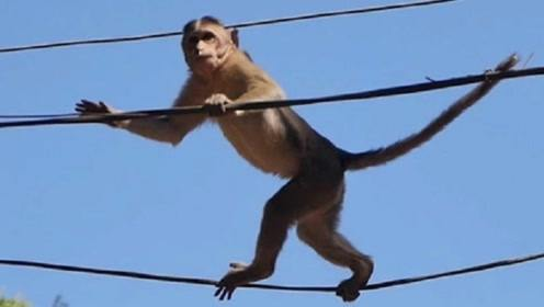"""猴子爬到了高压线上,瞬间烧成""""火猴"""",镜头记录全过程"""