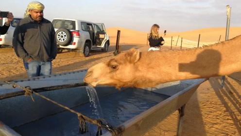 骆驼几周没喝水了,看见水源猛喝起来,可以喝100-120升水