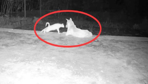三更半夜,监控拍到一猫一狗,接下来的画面让人脸红