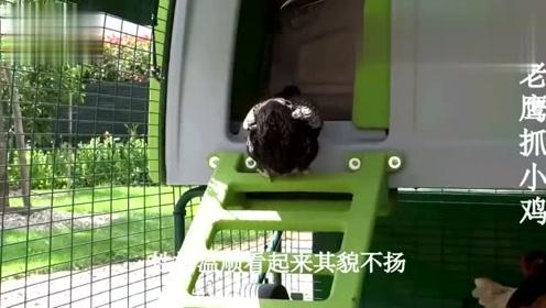 老鹰突袭小鸡,本以为小鸡要遭殃,不料倒霉的却是老鹰