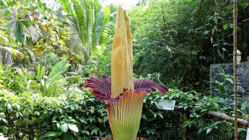 """世界上最""""臭""""的花:高3米7年开一次花,臭味能让人产生幻觉!"""
