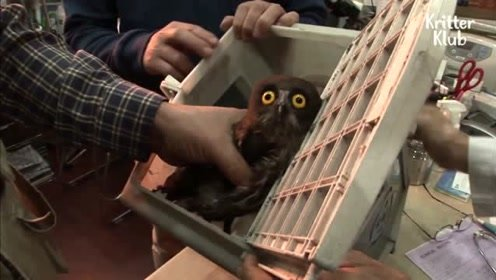 拯救在地下停车场寻找出路的饥饿猫头鹰,它不太聪明