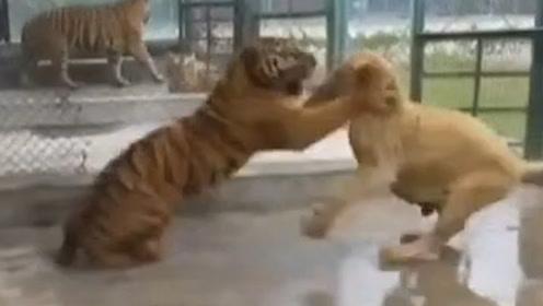 母狮摸母虎屁股,引发大战,若非拍摄者一声断喝,狮命休矣