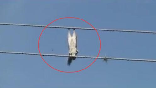 松鼠在高压线上玩耍,不料意外发生,镜头记录全程!
