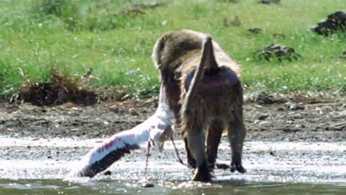 狒狒究竟有多凶残?看完狒狒捕食火烈鸟过程,你就明白了!
